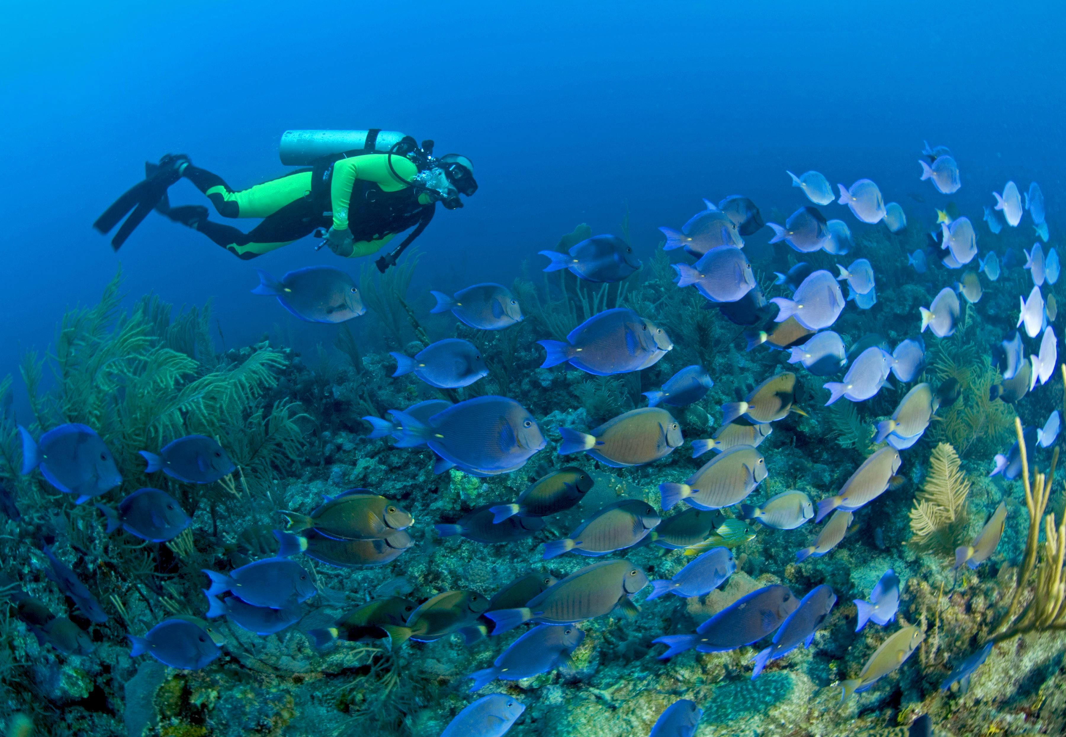 Marco Martin, owner of Dreamtime Dive Resort, swims briskly with a huge school of blue tangs off a reef called Jardines (Gardens), Mahamual, Costa Maya, Yucutan Peninsula, Mexico.