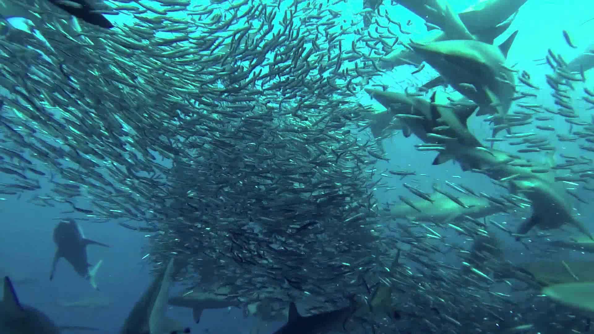 sardine-run2