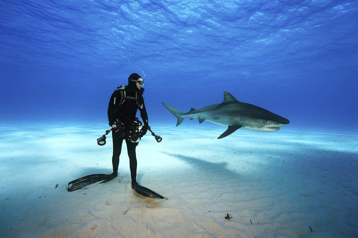 Tiger Shark and diver, Northern Bahamas