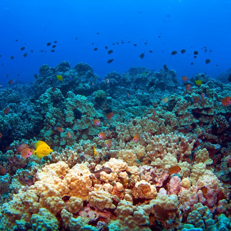 Hawaiian Reef Scene with fish in Kona