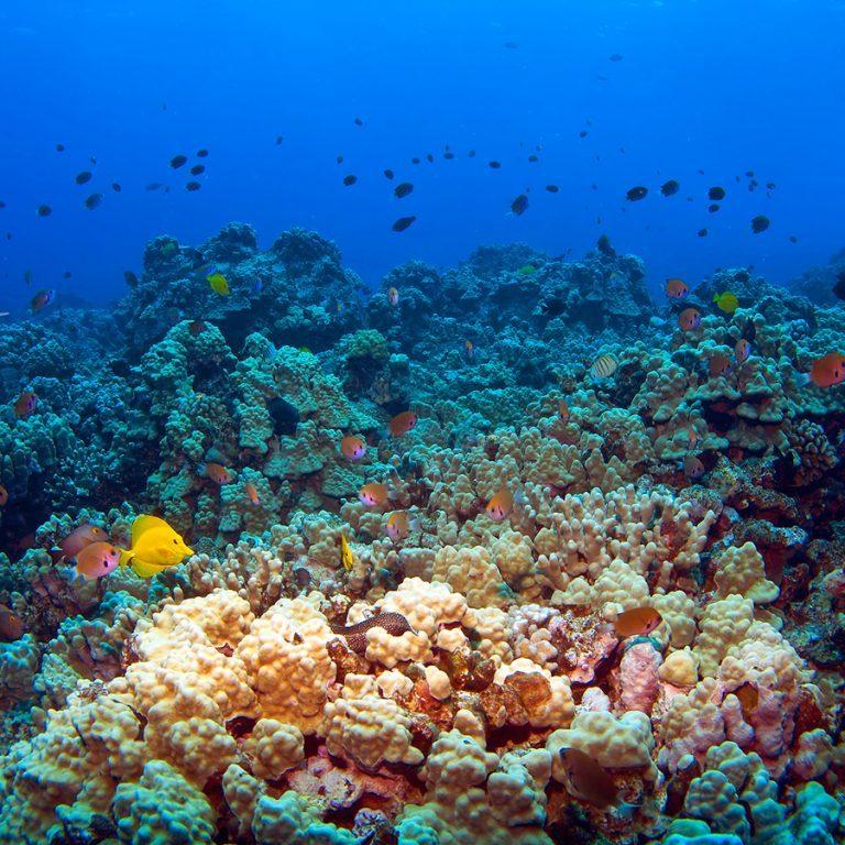 Hawaiian Reef Scene with fish in Kona